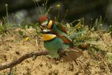 Bee-eaters pairing