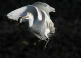 Cattle Egrets in flight with catch ( mouse )