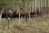 Driving the cows along the fenceline .jpg