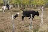 Cattle dog at work .jpg