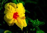 concorde hibiscus
