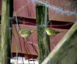 NordsångarePhylloscopus borealisArctic WarblerandTaigasångarePhylloscopus inornatusYellow-browed Warbler
