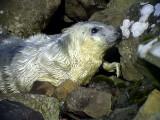 Gråsäl, Seal?
