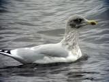 Gråtrut Larus argentatus Herring Gull