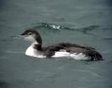 Svartnäbbad islom Great Northern Loon (Great Nothern Diver) Gavia immer