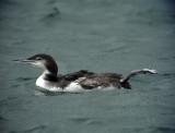 Svartnäbbad islom Gavia immer Great Northern Loon (Great Nothern Diver)