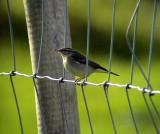 Nordsångare Phylloscopus borealis Arctic Warbler