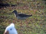 Rödbena Tringa totanus Common Redshank