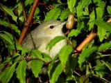 Trädgårdssångare Sylvia borin Garden Warbler