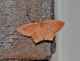 Pistachio Emerald Moth (7084)