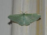 Bad-wing Moth (7648)