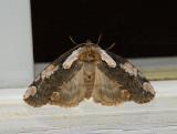 Dogwood Thyatirid Moth (6240)