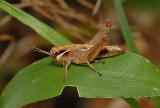 Melanoplus Grasshopper