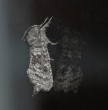 Major Sallow Moth (10007)