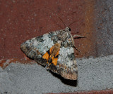 Connubial Underwing (8877)