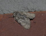 The Brother Moth (9193)