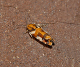 Southern Spragueia Moth (9122)