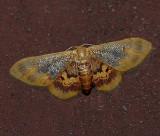 Diminutive Wave Moth (7105)