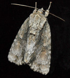 Connected Dagger Moth (9219)