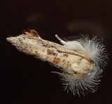 U.S. MOTHS:  Pre-Tortricid - Tortricidae