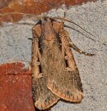 Subterranean Dart Moth (10664)