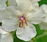 Syrphus spp.