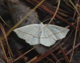Confused Eusarca Moth (6941)