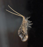 Lacewings, Antlions, Owlflys, and their relatives