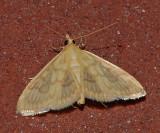 Angelic Crocidophora Moth (4944)