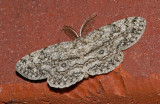 Umber Moth (6439)