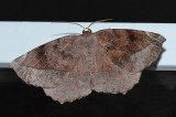 Curve-toothed Geometer (6966)