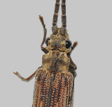 Reticulated Beetle