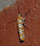 Ailanthus Webworm Moth (2401)
