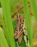 Two -striped Grasshopper