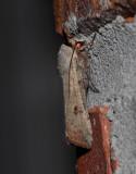Green Cutworm Moth (10911)