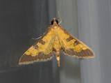 Paler Diacme Moth (5142)