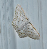 Dot-lined Wave Moth (7122)