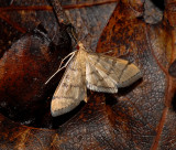 Hollow-spotted Blepharomastix (5182)