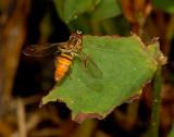 Family Syrphidae