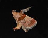 Dimorphic Tosale Moth (5556)