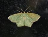 Angle-winged Emerald Moth (7075)