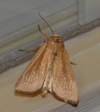 Adjutant Wainscot Moth (10456)