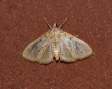 Splendid Palpita Moth (5226)