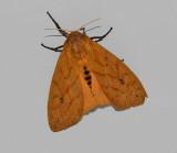 Isabella Tiger Moth (8129)