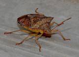Rice Stink Bug