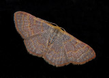 Pannaria Wave Moth (7173)