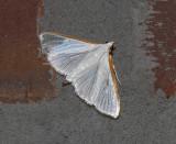 Kimball's Palpita Moth (5219)