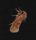 Eastern Grass-tubeworm Moth (0372)