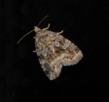 Large Mossy Lithacodia Moth (9047)