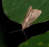 X-linear Grass-veneer Moth (5499)